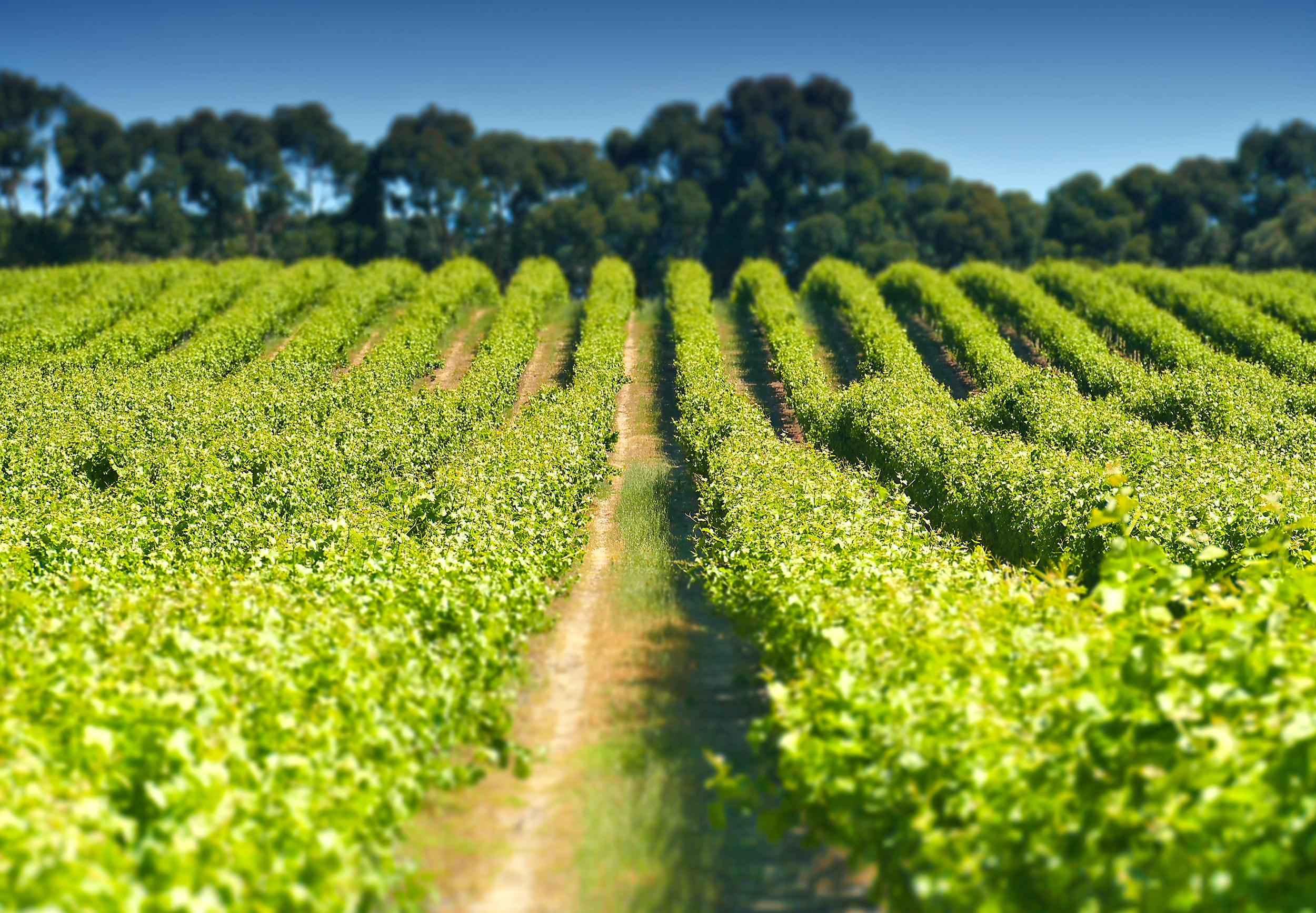 wine_yard1